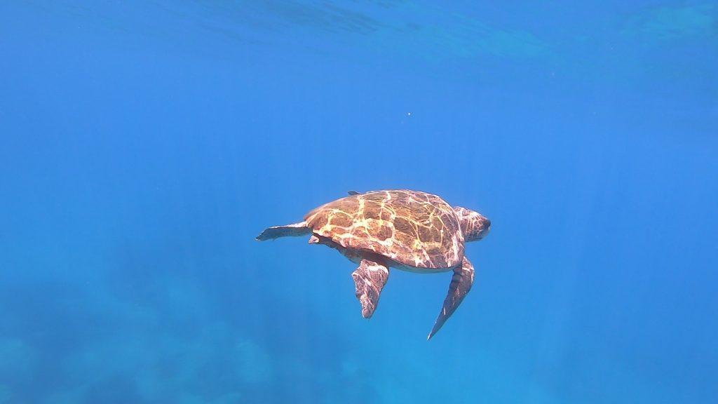 turtles in zante